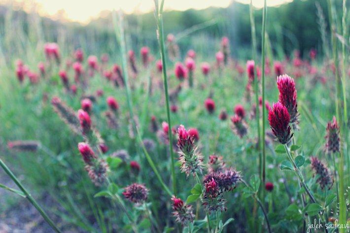 pink blooms at sunset